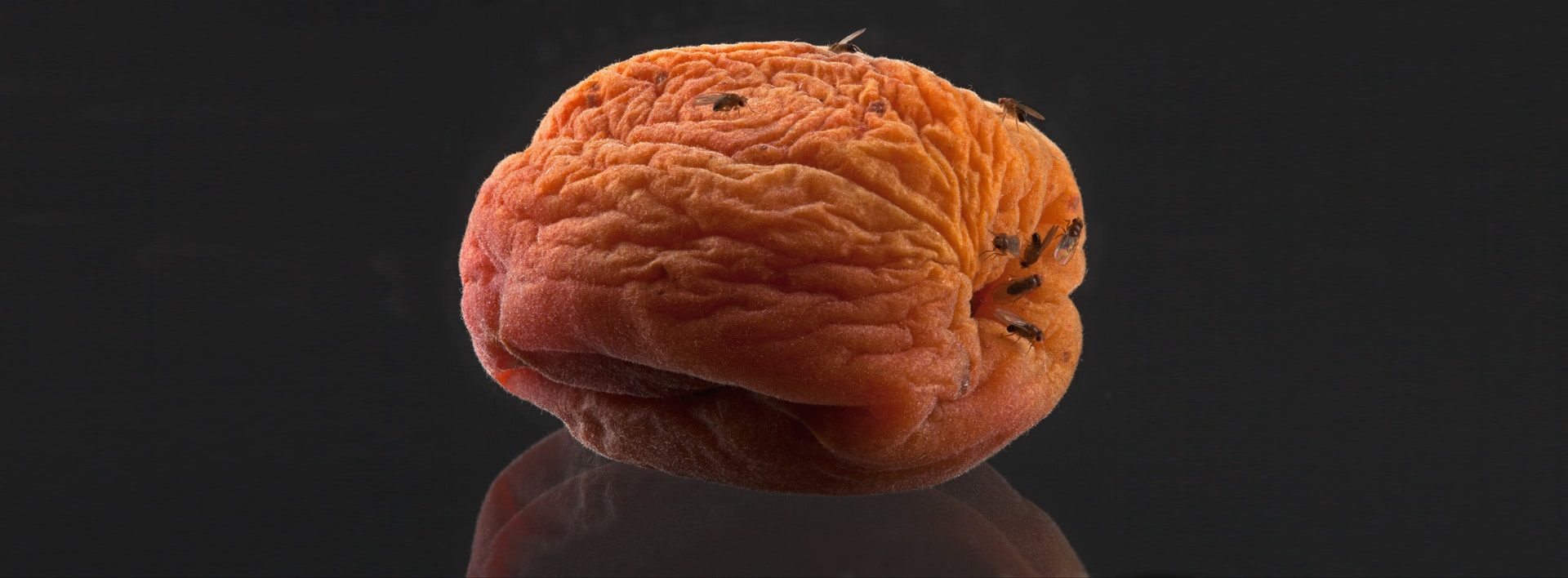 Fruit flies on a rotting wrinkled peach