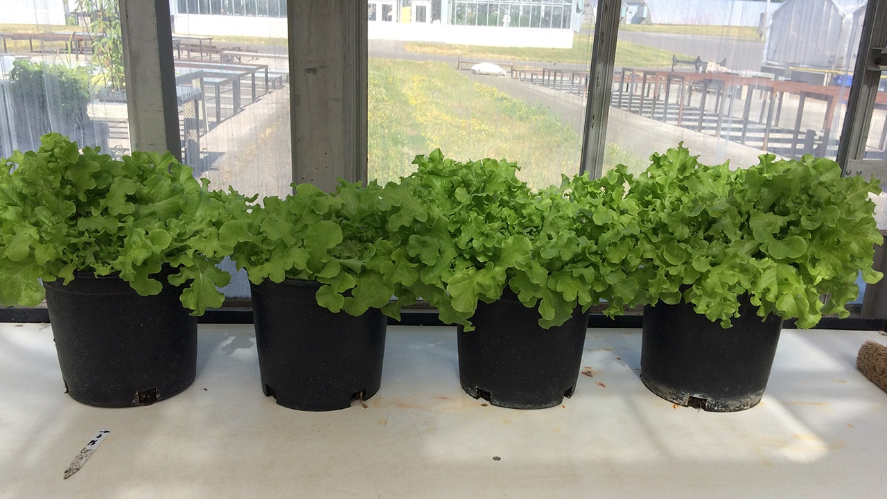 a row of pots containing green, growing lettuce in the window of a greenhouse