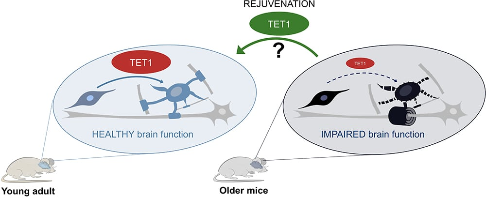 diagram showing the impact of TET1 in young and old mice