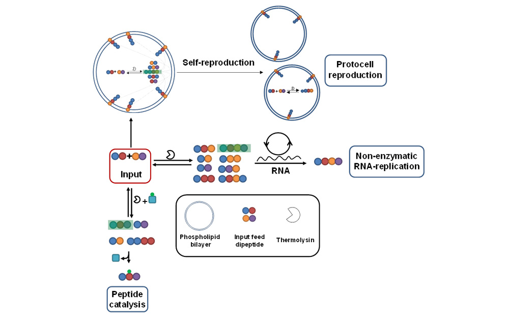 Schematic representations of a dynamic peptide library for selection in tandem with protocell reproduction, RNA replication and peptide catalysis. (The legend shows various notations) (Sequences highlighted in green show the amplified sequences)